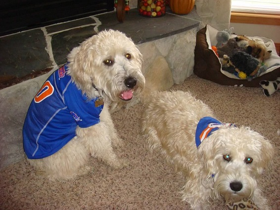 Boise State Broncos Dog Pet   Humans Gear adac2183e