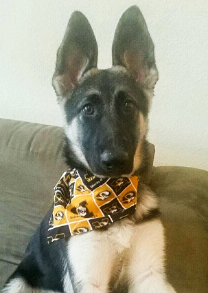 Missouri Mizzou Tigers Dog Pet   Humans Gear 651c6b0e2