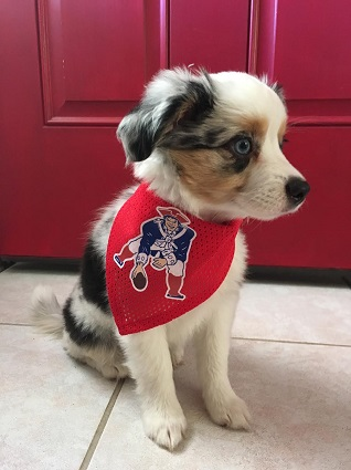 New England Patriots Dog Pet   Humans Gear d8542dd80